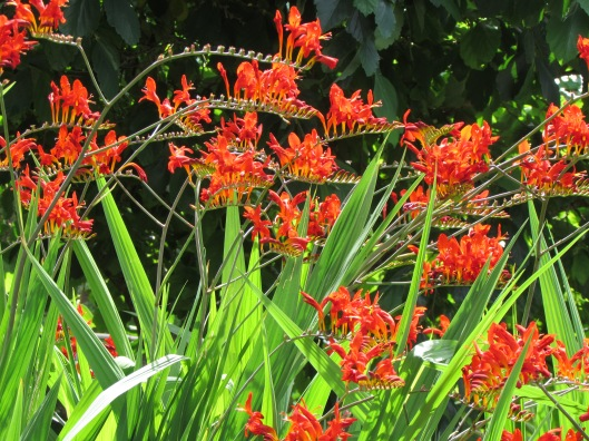 Crocosmia 'Lucifer' at Old Germantown Gardens