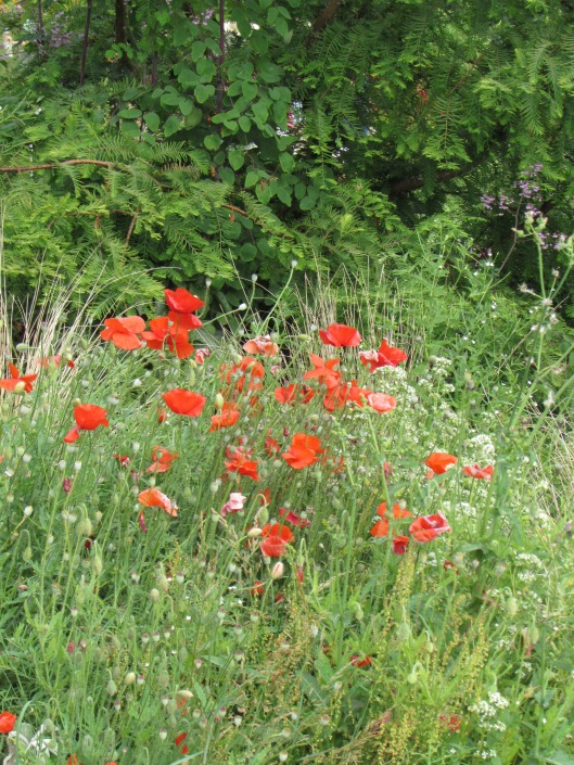 Poppies at Westwind Farm Studio