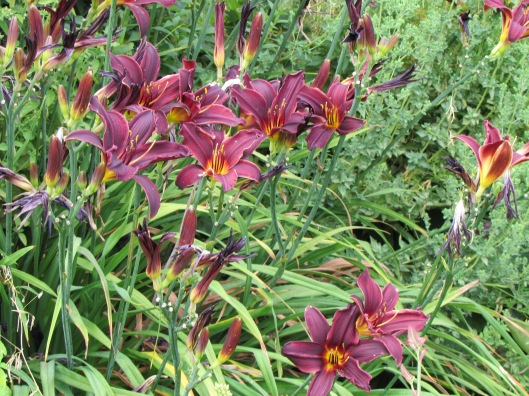 Day Lilies at Westwind Farm Studio