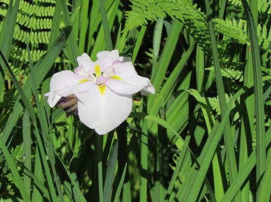Iris at the Portland Japanese Garden