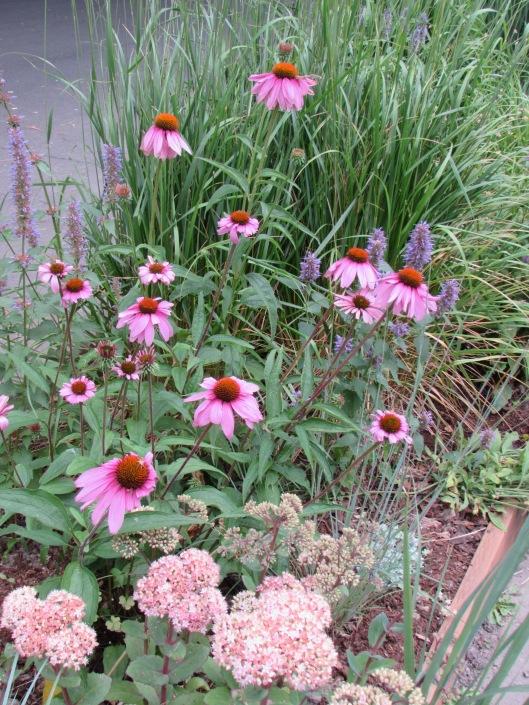 Echinacea purpurea at Rhone Street Gardens