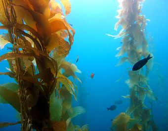 Kelp forest/Credit: Heal the Bay