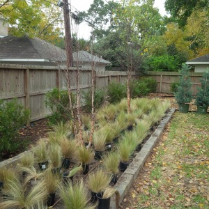 Raised bed with River birch and Mexican feather grass