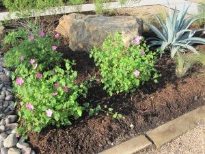 Texas rock roses
