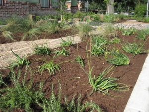 Newly planted bulbine and trailing rosemary