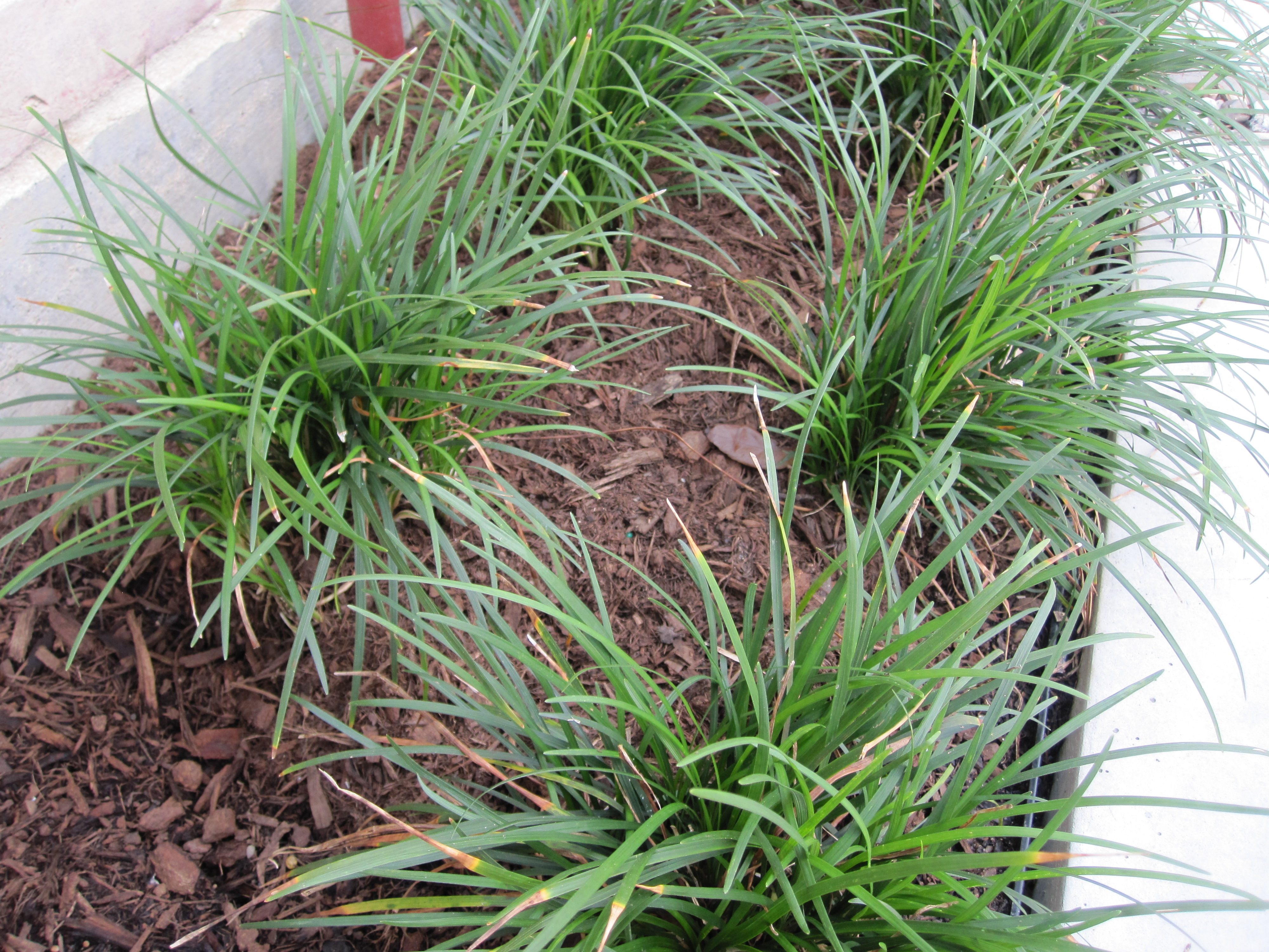From weeds to no mow austin style garden part 2 the for Garden grass plants