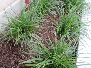 Mondo or Monkey grass