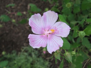 Texas Rock rose flower.