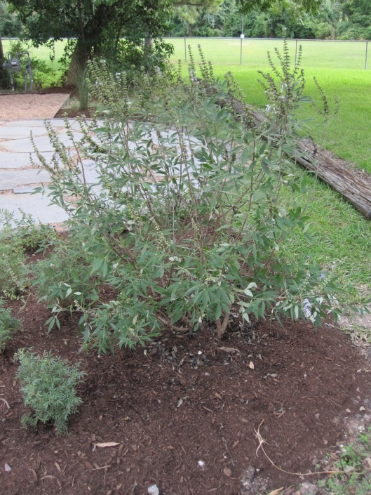 Bed north of patio with Vitex.