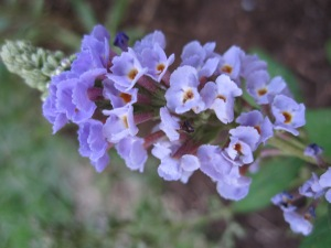 Flowers of the Vitex
