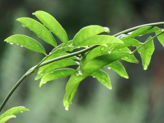 Evergreen Wisteria