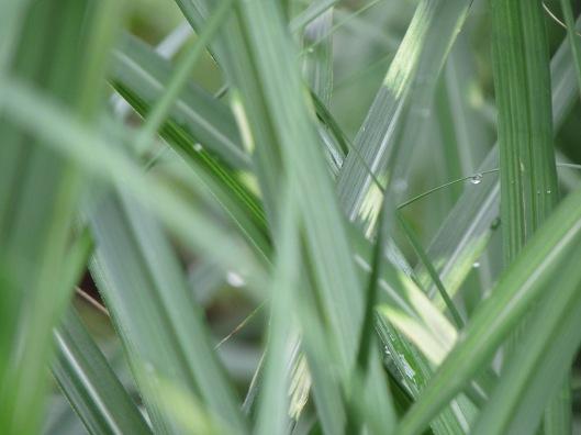 Little Zebra grass