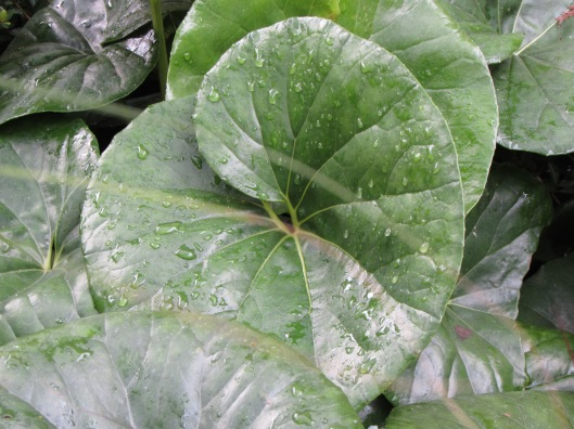 Giant ligularia