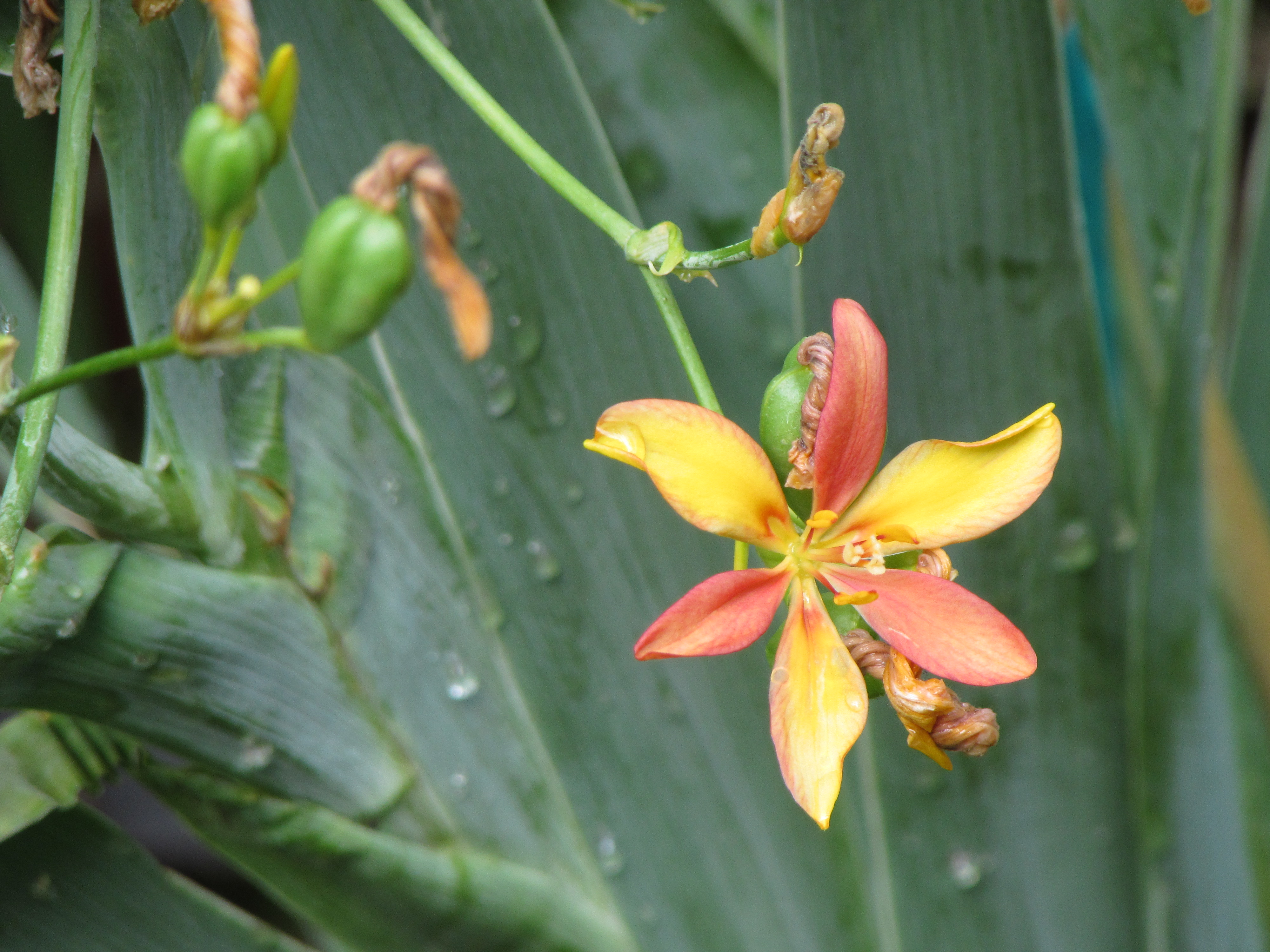 Blackberry Lily Iris Domestica A New Plant We Are Trying