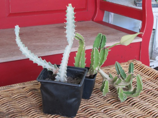 While waiting for pots the Starfish cactus produced a bloom.