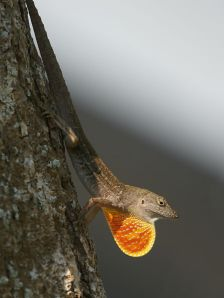 Photographer: Hans Hillewaert Source: http://en.wikipedia.org/wiki/File:Anolis_sagrei - See more at: http://www.tsusinvasives.org/database/brown-anole.html#sthash.H55oB2Kl.dpuf