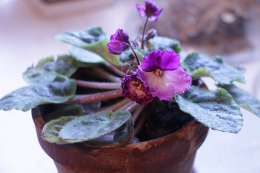 Shawn propagated this  African Violet from a single leaf during his Master Gardener training. It seems very happy blooming in our kitchen window.