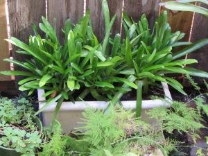 Aechmea, Bromeliad, Matchstick Plant Aechmea gamosepala