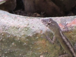 Close up of a young brown anole.