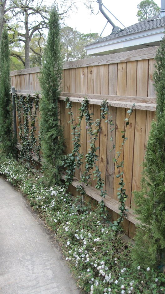 Star jasmine vines,Italian cypress and white trailing lantana.