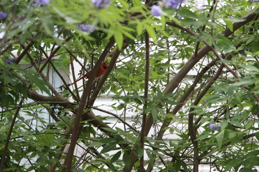 The Cardinals love the seeds on the Purple Montrose Vitex tree.