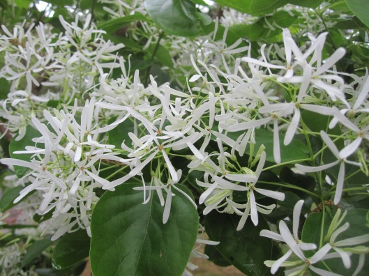 Blooms on the Chinese fringe tree.
