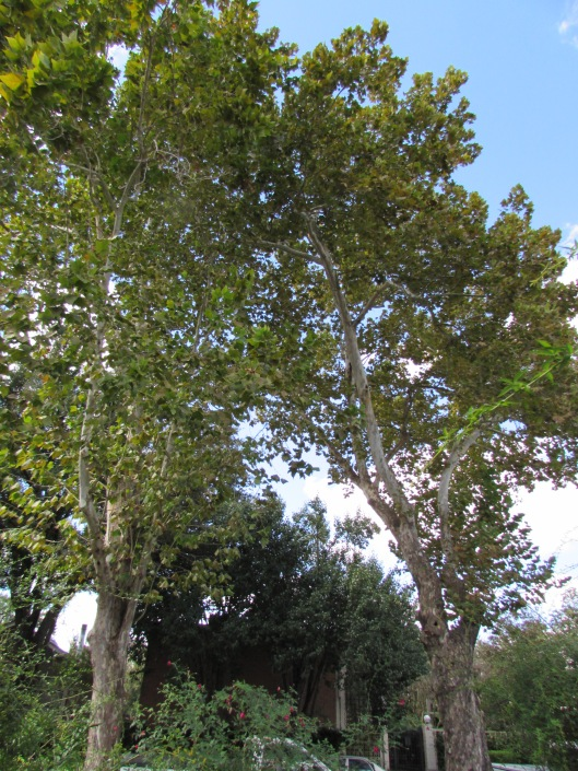 American sycamores at Ravenscourt Gardens