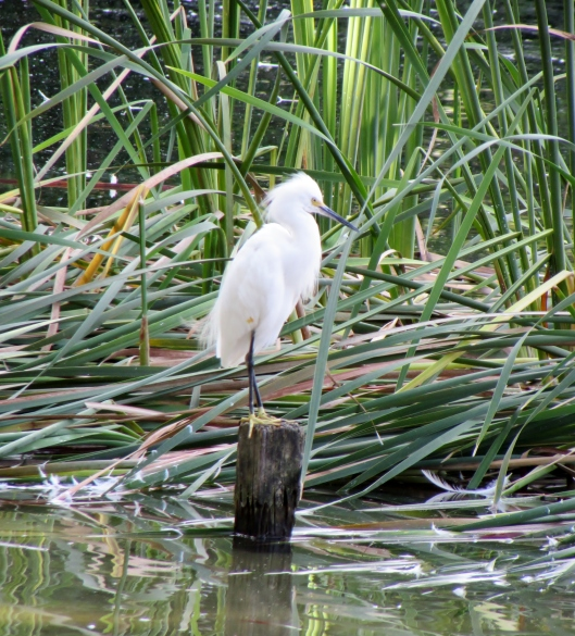 I am pretty sure this is a Snow Egret. They are suppose to be very common birds in south Florida, and can even be seen foraging in the surf.