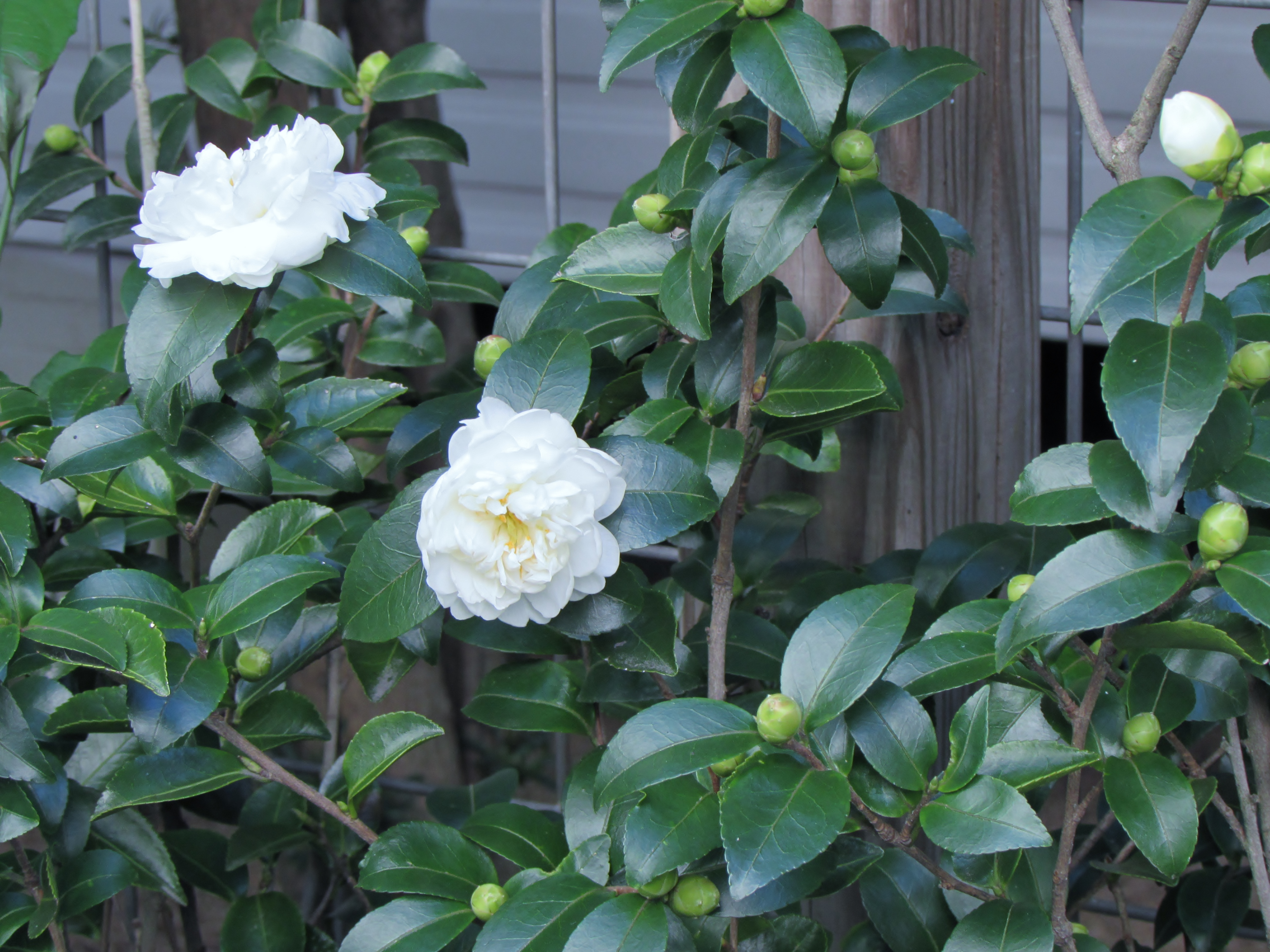 Garden bloggers bloom day sasanqua camellias in my for Camelia sasanqua