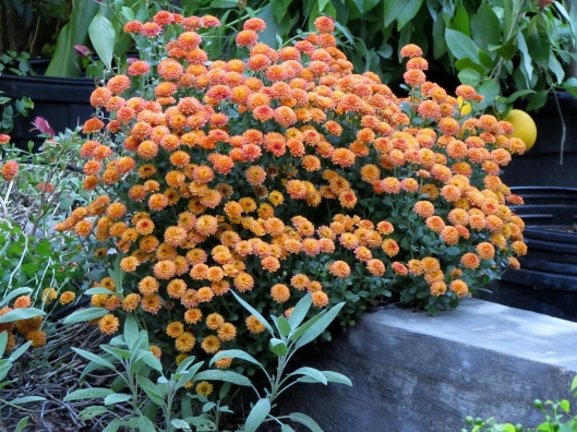 These mums have been living at the end of our veggie bed for several years. They are left over from a color change in a clients urns on their porch. I couldn't bare to throw them away. And each year they remind me why!