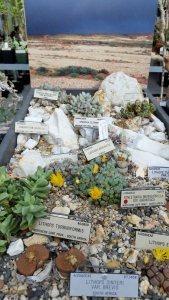 Love this small Lithops vignette.