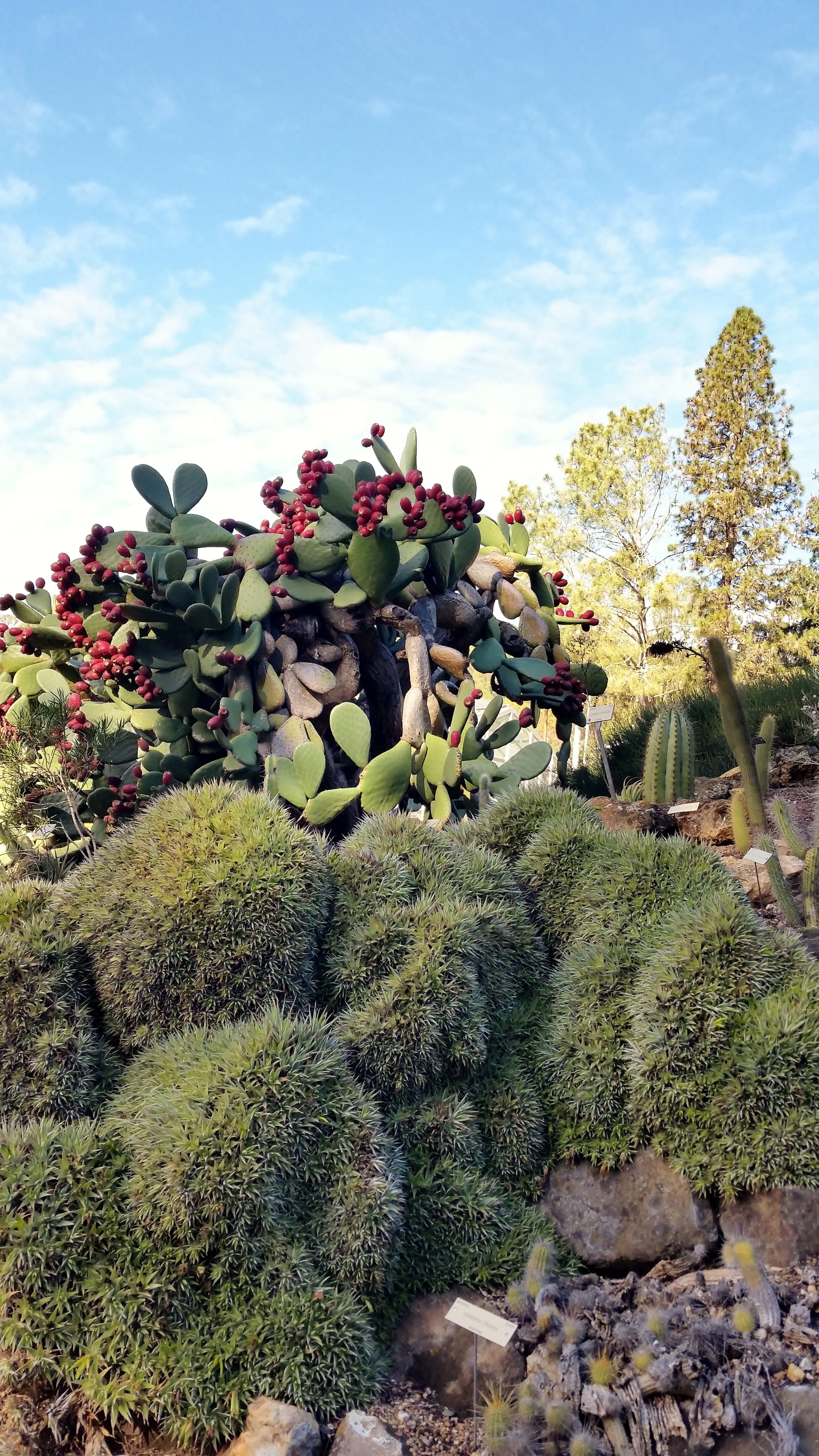 The Cactus Apples Looks So Beautiful And I Loved The Bromeliad  Deuterocohnia Brevifolia.