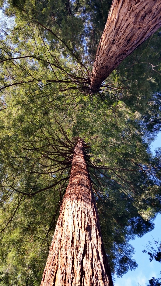 Sequoia sempervirens, Coastal Redwood native to California and Oregon.