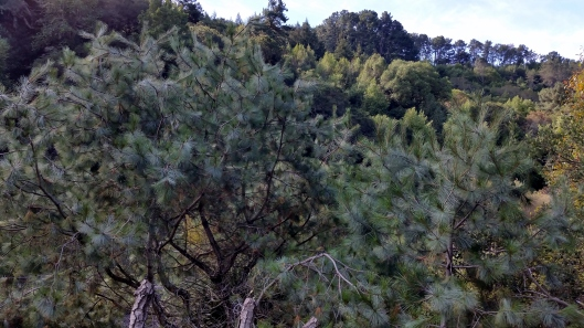Pinus Maximartinezii, Big-Cone Pinyon, Martinez Pinyon Pine