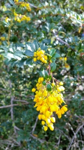 Darwin Barberry, Darwin's Berberis, Berberis darwinii from Chili.