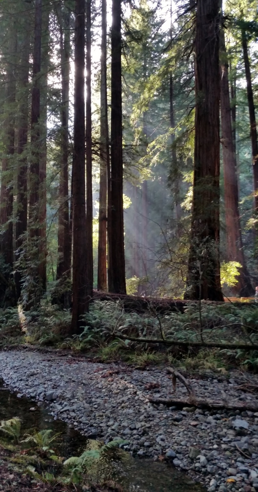 Giant redwoods with light filtering through.