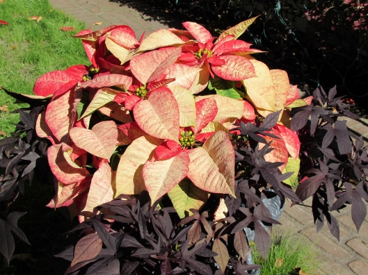Poinsettia with potatoe vine