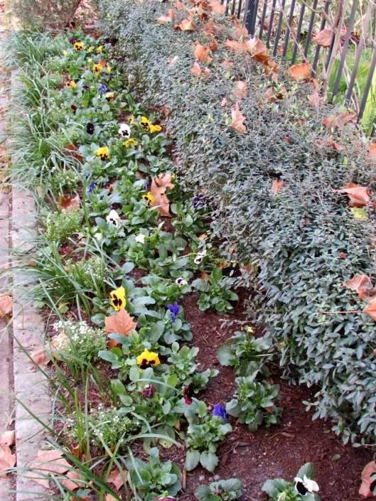 Pansies in annual bed