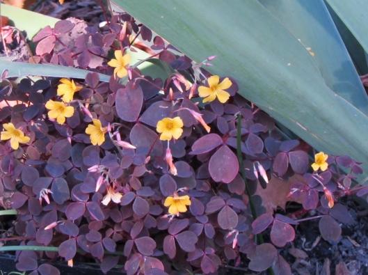 Oxalis vulcanicola 'Burgundy Bliss'