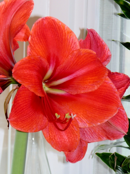 Grand Trumpet® Nature's Grace Red Amaryllis Single