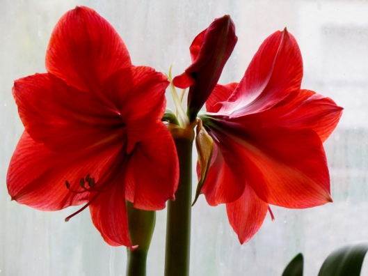 IMG_6359  	  Grand Trumpet® Nature's Grace Red Amaryllis Single
