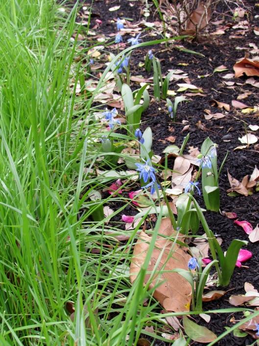 Scilla Siberica Spring Beauty
