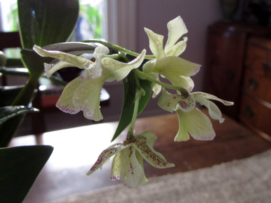 Dendrobium Micro Chip (aberrans x normanbyense).