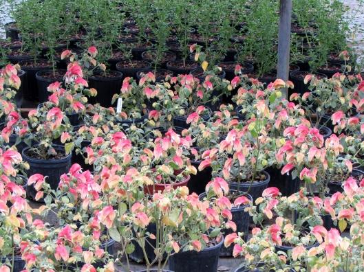 Tutti Frutti Shrimp plants