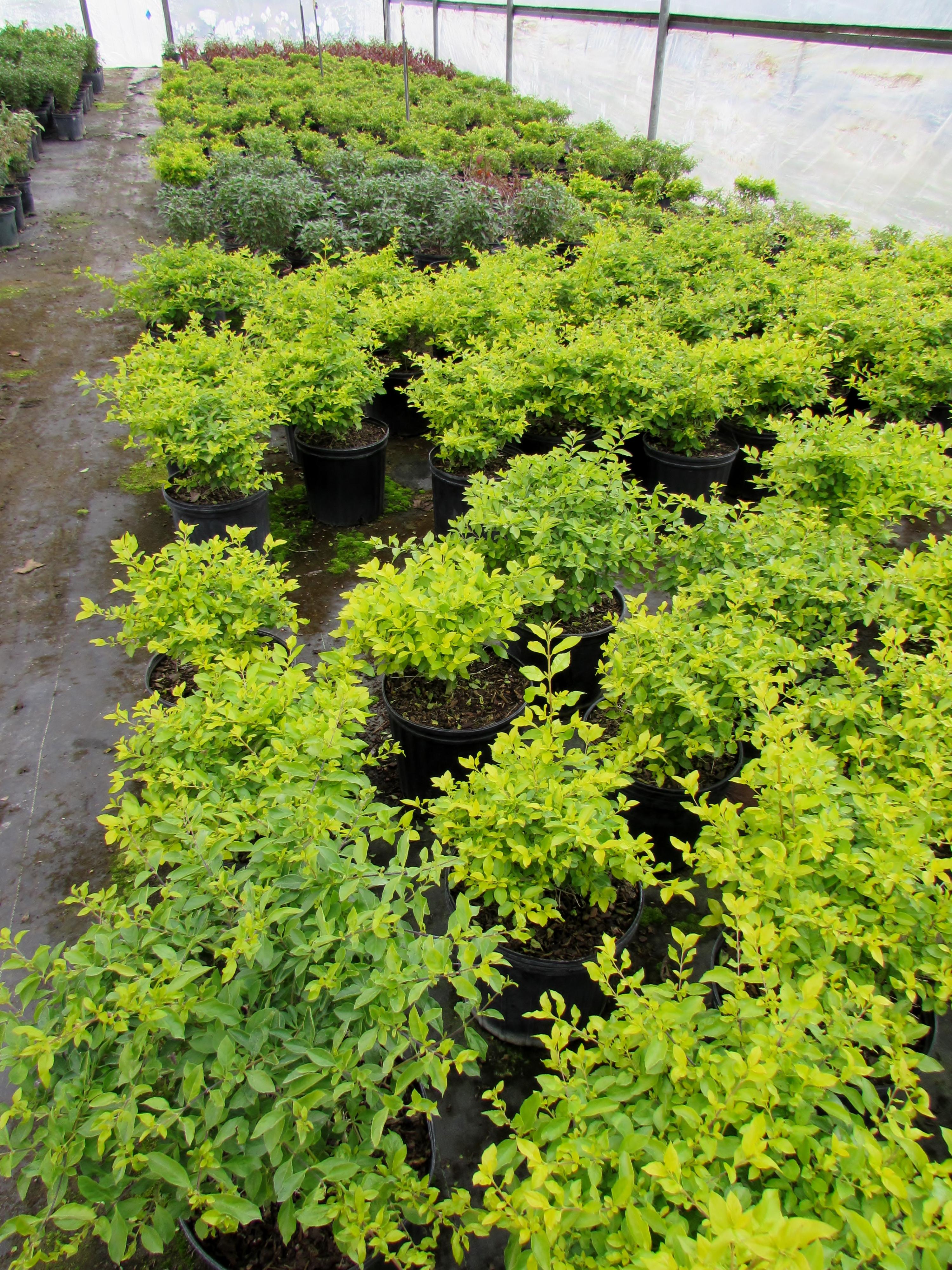 Shrubs For Shade Houston : A reconnaissance trip to treesearch farms ravenscourt
