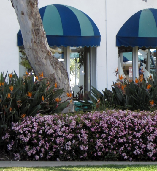 Birds of Paradise and Indian Hawthorn in bloom outside the Laguna Hotel.