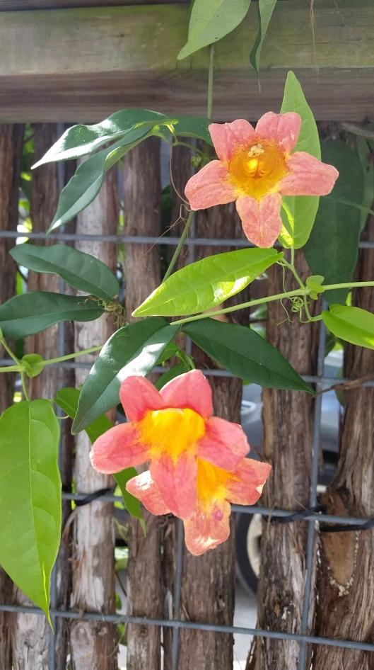 Tangerine Crossvine