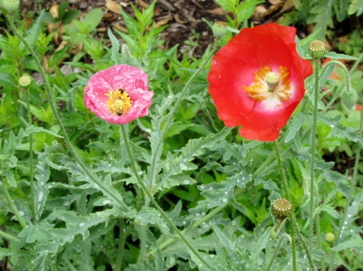 Pink and red poppy