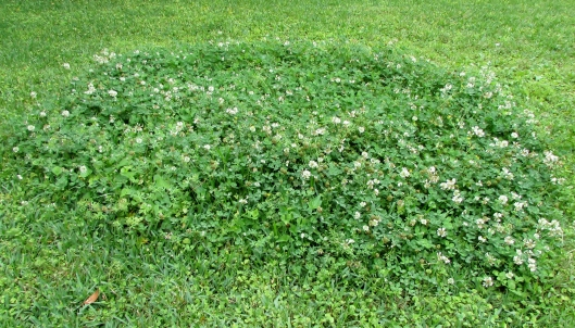 You can add clover seed to your lawn, yes, let go of the idea of the perfectly manicured lawn. The