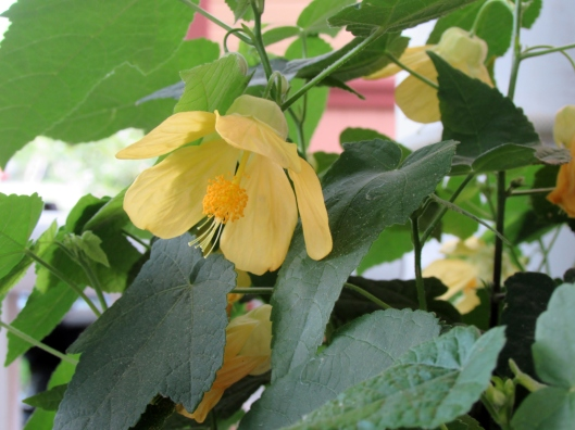 Lucky Lantern Yellow Abutilon